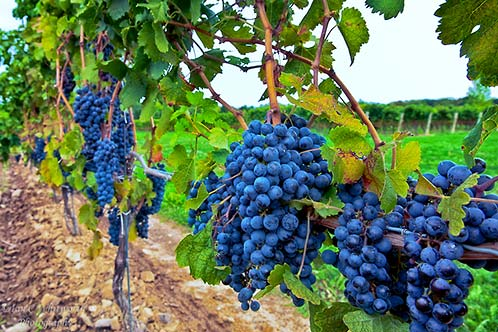 Niagara Vineyard Grapes