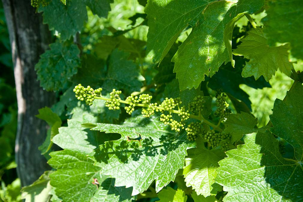 Glera Grape Small bunches growing GettyImages 1920x1280