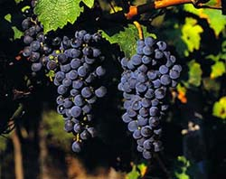 cabernet_sauvignon_grapes