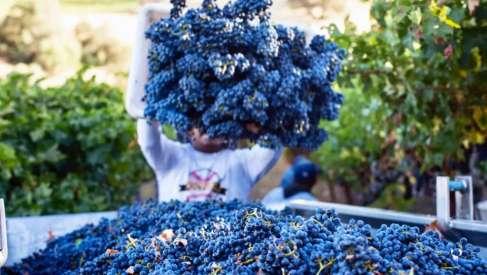 Najveći kupac vinskog grožđa u regionu