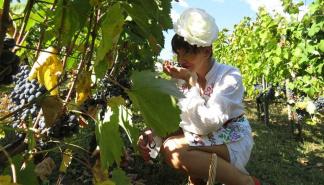 Tradicionalna berba u vinariji Grabak